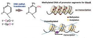DNA_methyl_transerases