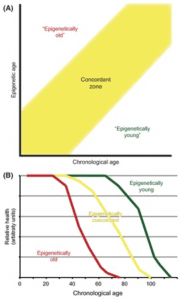 Epigenetisches Alter als Prädiktor für Gesundheit